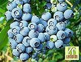 Liveseeds - Blueberry vaccinium corymbosum 25 Finest Seeds