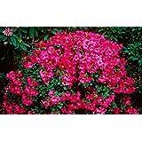 9cm Pot Dwarf Rhododendron Whispering Rose Carnation Rose Flowers Garden Shrub