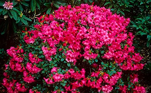 9cm Pot Dwarf Rhododendron Whispering Rose Carnation Rose Flowers Garden Shrub B&R Direct