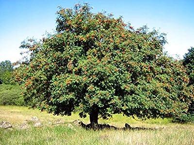 Rowan, (European Mountain Ash), Sorbus Aucuparia, Tree Seeds, (50 seeds)