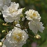 'Guirlande d' Amour' -R-, Rambler-Rose in A-Qualität Wurzelware, ADR-Rose