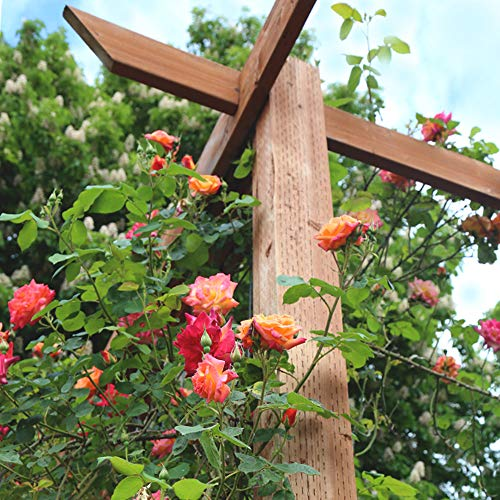 Own-Root One Gallon Joseph's Coat Climbing Rose by Heirloom Roses by Heirloom Roses (Image #3)