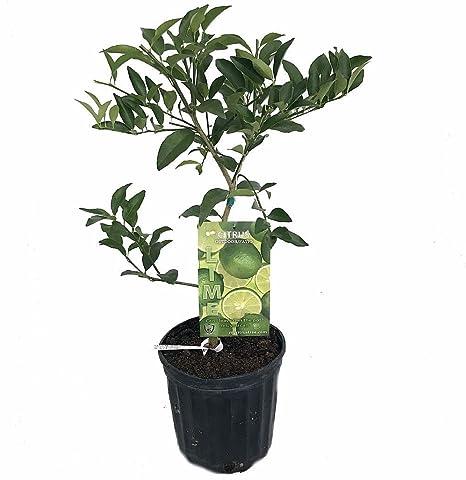 "Lime tree plant 9/""+"