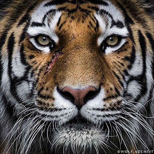 DIY 5D Diamond Painting by Number Kit Full Drill Rhinestone Embroidery Arts Craft for Home Wall Decor Animal Tiger 11.81x11.81 inches