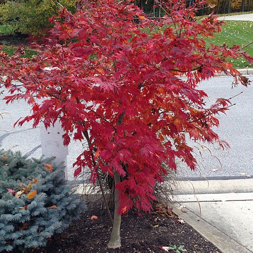 (Bonsai Seeds Red Japanese Maple Acer Palmatum Tree 10 Seed!)