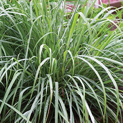 Burpee Lemongrass Herb | 3 Live Plants, 2 1/2
