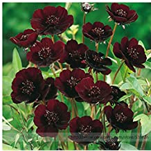 The Best Seller Rare Chocolate Cosmos Flower Seeds, Professional Pack, Beautiful Coreopsis New Variety.