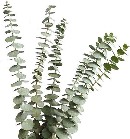 Luo-401XX 10pcs Branches Deucalyptus Naturels S/éch/és Artificiels Jardin De Maison De F/ête De Mariage H/ôtel Bureau Artisanat D/écor S