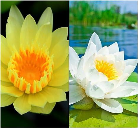 Bee Garden Organic Lotus Mix Flower Seeds Pack Of 10 Seeds Yellow White Colors Growing Lotus Brings Positive Vibrations According To Vaastu
