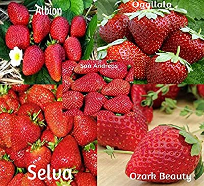 Strawberry Mix 750 Seeds