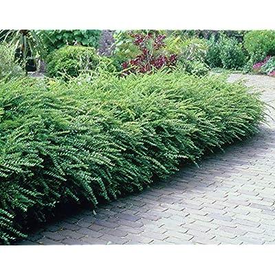 AchmadAnam - Live - Evergreen Shrub Lonicera nitida (Boxleaf Honeysuckle) Very Cold Hardy Broad Leaf Bush (-26.1C (-15F)). E3 : Garden & Outdoor