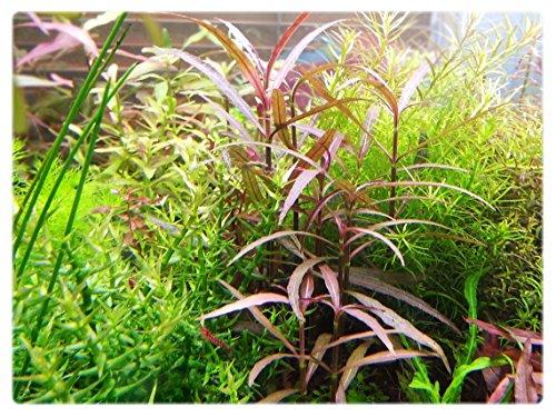 Araguaya Sharp Leaf - Hygrophila Araguaia - Aquarium Plant for Midground and ()