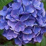 "Cityline Vienna® Hydrangea macrophylla -Bright Fuchsia-Proven Winners-4"" Pot"
