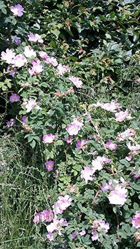 20 Stück Weinrose / Schottische Zaunrose - (Rosa rubiginosa) ,Containerware 60-100 cm