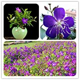 WANCHEN Rare Tibouchina Seecandra Bonsai Potted Plants Flowers Bonsai 100 Pcs/Pack Flowers Bonsai for Home Garden Planting Potted Plant (Seeds not Plants)