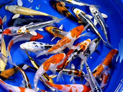 Live Koi Fish - 8-Lot Assorted Standard AAA Grade Quality (4 -5 Inch)