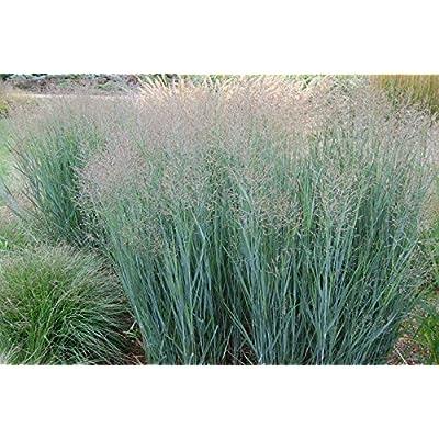 Panicum virgatum Heavy Metal SWITCHGRASS Seeds! : Garden & Outdoor