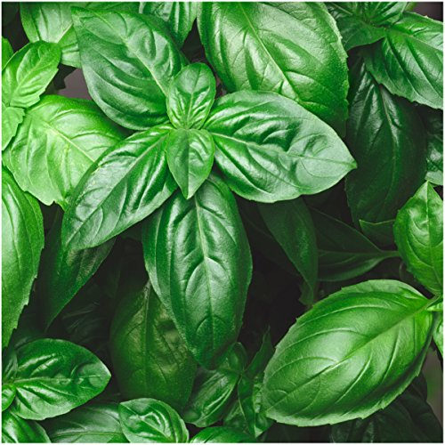 Package of 500 Seeds, Italian Large Leaf Basil (Ocimum basilicum) Non-GMO Seeds By Seed Needs