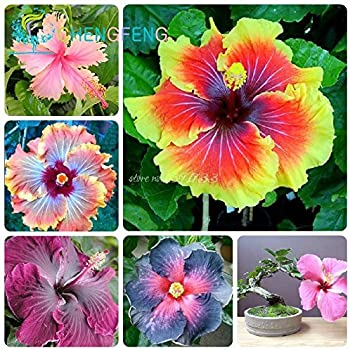 Amazoncom Hibiscus Flowers Seeds100pcs Rare Rainbow Color Potted