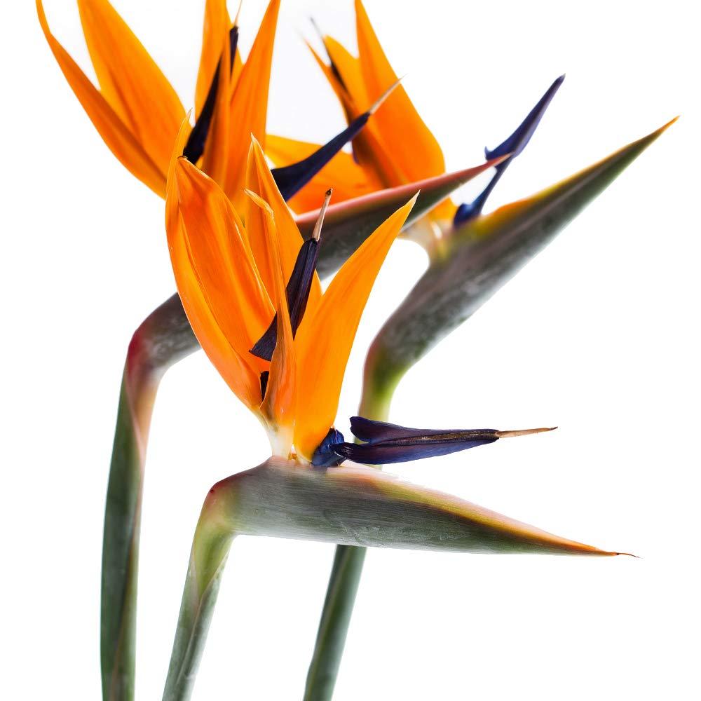 Orange Bird of Paradise 2 Live Plant Tree Garden Outdoor Plants - USA_Mall
