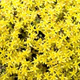 Outsidepride Sedum Acre Ground Cover Plant Seed - 5000 Seeds