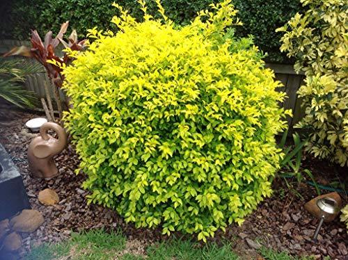 Starter Live Plant 4 Duranta Gold Mound Plug Size 2 Plants On Each Plug - Annstr