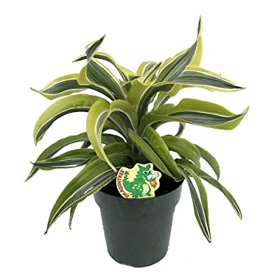 "AchmadAnam - 6"" Pot- Lemon Surprise Madagascar Dragon Tree-Dracaena- Easy to Grow House Plant : Garden & Outdoor"