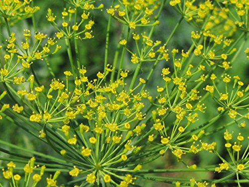 Butterfly Attracting Flower Selection List collection butterflies zellajake Bee (Dill Bouquet - Dill Weed Seed
