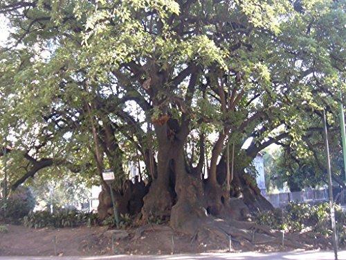 Phytolacca dioica GIANT POKEBERRY Huge Treelike Trunk (Tree Huge Trunk)