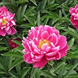 Livecity 10Pcs Paeonia Lactiflora Flower Seeds Chinese Herbaceous Peony Garden Home Plant