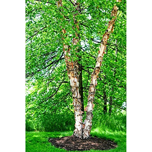 River Birch/Copper Tree (3 Pack) Betula Nigra Live Bare Root Plant #DB05 (Nigra River Betula Birch)