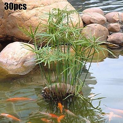 Phoenix b2c 30Pcs Semi-Aquatic Water Plant Pond Garden Decor Cyperus Alternifolius Seeds - Cyperus Alternifolius Seeds : Garden & Outdoor