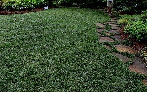 Dwarf Mondo Grass Qty 80 Live Plants Shade Loving Evergreen Ground Cover by Florida Foliage (Image #4)
