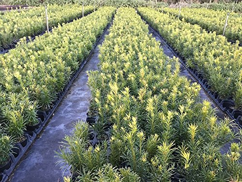 "Podocarpus Macrophyllus - 15 Live Plants - 4"" Pots Japanese Yew Live Plants Evergreen Privacy Hedge"