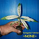 ~NONI~ Variegated Tahitian Morinda Citrifolia Fruit Tree 8-12+in Starter Plant