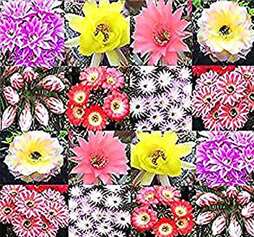 Grow Easter Lily (20 x Echinopsis Species mixed Seed - Cactus Seeds - AKA Hedgehog cactus, sea-urchin cactus, Easter lily cactus - ASSORTED COLORS & VARIATIONS - Gorgeous Flowers - By MySeeds.Co)