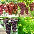 Solution Seeds Farm New Hierloom Mixed Sweet Seedless Grape Fruits, 15 seeds, juicy flesh sweet and delicious green red dark purple fruits
