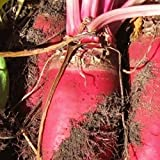 buy Everwilde Farms - 1/4 Lb Red Mammoth Fodder Beet Seeds - Gold Vault now, new 2018-2017 bestseller, review and Photo, best price $7.20