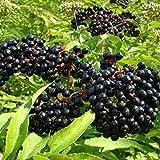 Black Elderberry Seeds (Sambucus Nigra) 30+ Medicinal Berry Plant Seeds