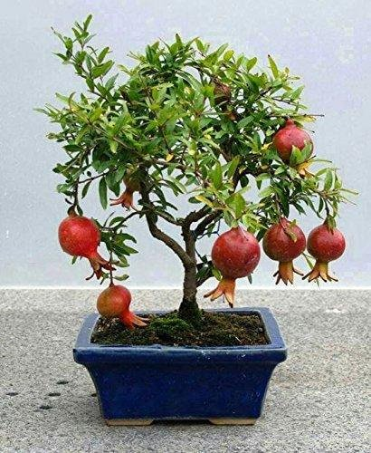 Vpn Live Pomegranate Bonsai Fruit Plant Amazon In Garden Outdoors