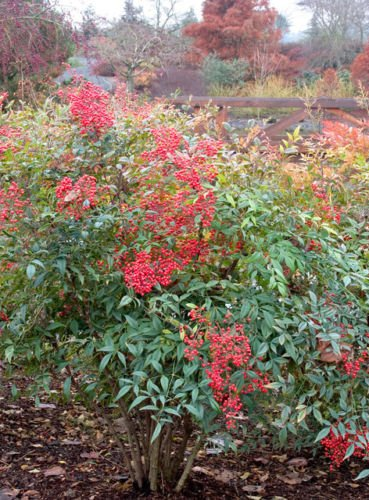 Nandina Domestica Heavenly Bamboo Established Rooted Shrub 2.5'' Potted 12 Plants