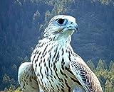 Home Comforts LAMINATED POSTER Hunter White Predator Falcon Beautiful Bird Poster