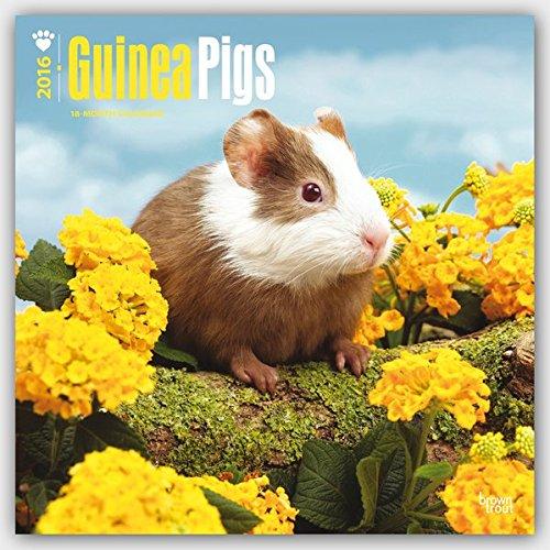 Guinea Pigs 2016 - Meerschweinchen - 18-Monatskalender: Original BrownTrout-Kalender [Mehrsprachig] [Kalender] (Wall-Kalender)