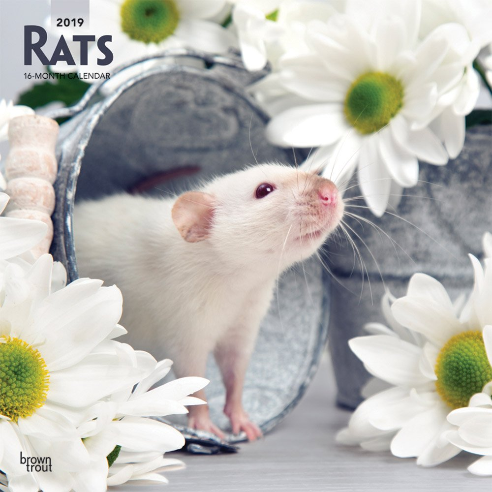 Rats 2019 12 x 12 Inch Monthly Square Wall Calendar, Domestic Animals Mouse