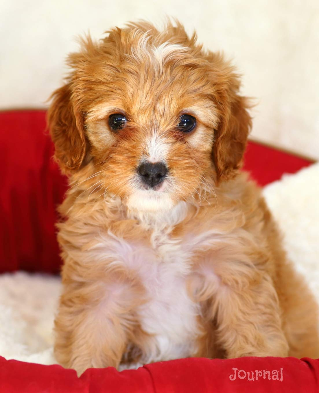 Journal: Cute Cavapoo Puppy Notebook: Dreamflight Publications