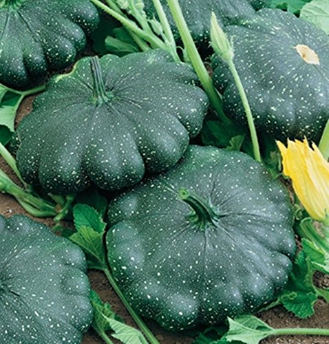 (Total Eclipse F1 Summer Squash 15 Seeds Dark Green Patty Pan Very Smooth &)