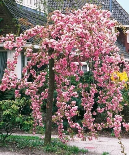 Cheal's Weeping Pink Flowering Cherry Tree 4-5ft,P.Serrulata Kiku Shidare Zakura beechwoodtrees 3fatpigs®