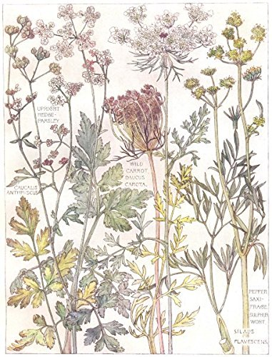 PARSLEY:Upright Hedge-P;Wild Carrot Daucus;Pepper Saxi-Frage Sulphur Wort;1907