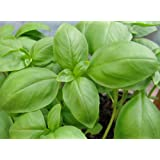 Basil Herb Seeds- Genovese- Pesto Heirloom- 300+ seeds