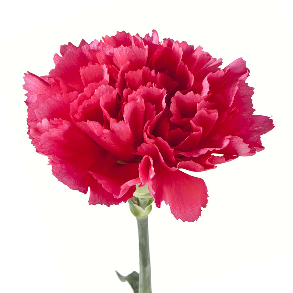 Wholesale Carnations (150 Dark Pink) by BFFlowers.com (Image #1)